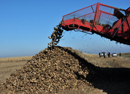 Unloading the roots of sugar beet from the hopper of the combine harvester
