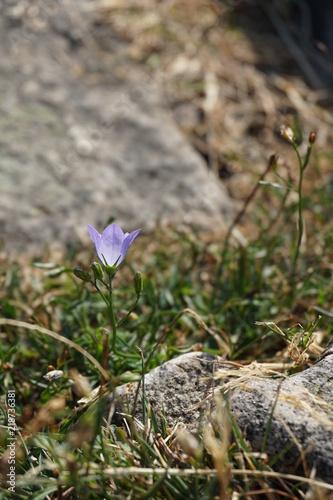 blau glockenblume keltischer ringwall otzenhausen sandstein