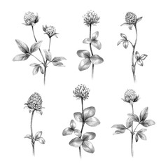 Pencil drawings of clover flowers