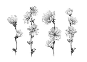 Pencil drawings of chicory flowers