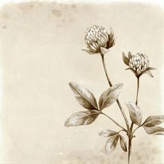 Clover flower drawing. Vintage background