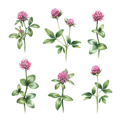Watercolor illustrations of clover flowers
