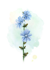 Watercolor illustration of a chicory flower