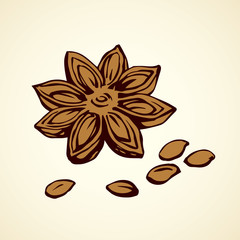 Anise. Vector drawing