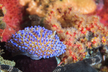Gas flame nudibranch (Bonisa nakaza) side view of a sea slug with vibrant color cerata, blue purple and yellow underwater macro.