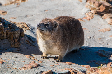 Rock hyrax (Procavia capensis) full length close up of animal standing and looking up.