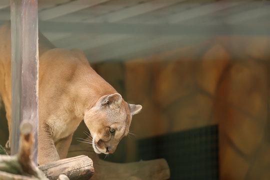 Puma in zoological garden