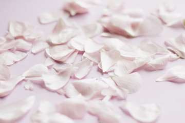 Petals of tender pink flowers on pink background