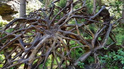 Fototapeta Wielki korzeń przewruconego drzewa w czeskich Skalnych Miastach obraz