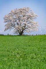 小岩井農場の一本桜と草原