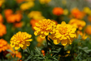 Three big ripe dahlia yellow flowers