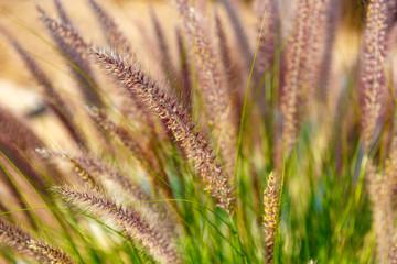 Ripe ear grass at sunlight