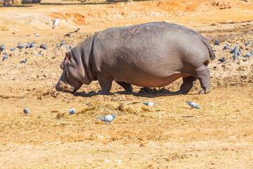 Hippopotamus with flock of pigeons