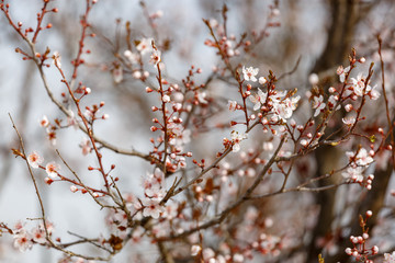 White flowers on a plum tree at blurred background