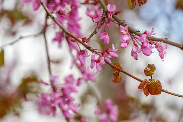 Close up of pink flowers on judas tree..in Judea at Har Hebron
