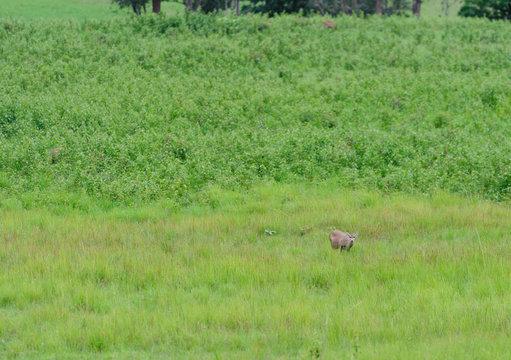Hog Deer (Hyelaphus porcinus)