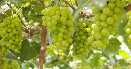 Fresh grape farm