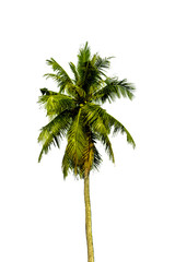 Single Coconut Tree.isolate on white background
