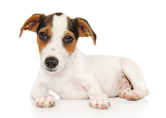 Jack Russel terrier on white background