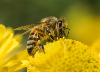 Close-up of a domestic Honeybee (Apis mellifera) on a yellow flower