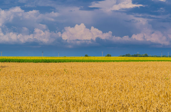 Yellow harvest grain under stormy sky. Field of golden wheat with line of sunflowers