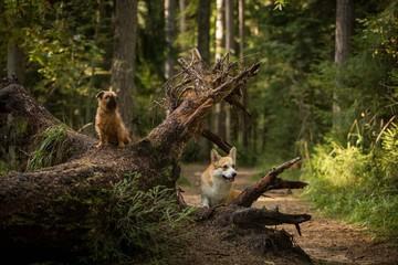 Two dogs stand on a tree Brussels Griffon Welsh Corgi Pembroke