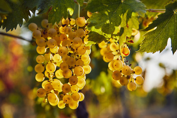 Yellow grapes on the vineyard with sunlight in the background