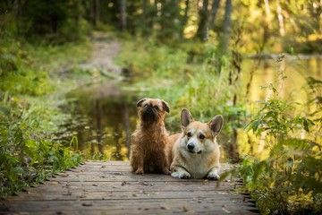 Two dog on a path by the river Brussels Griffon Welsh Corgi Pembroke