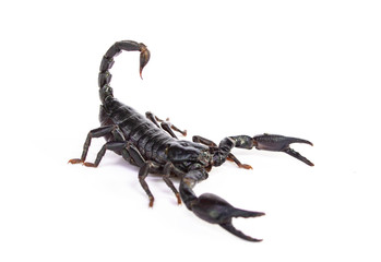 Emperor Scorpion ( Pandinus imperator) on white background.