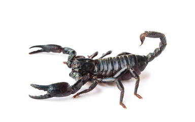 Emperor Scorpion isolated on white background