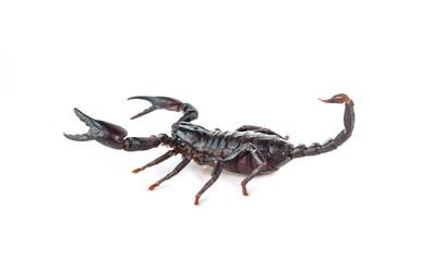 Emperor Scorpion isolated on white background.