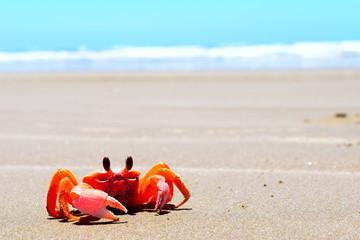 Cangrejos Suicidas en la playa de San Lázaro en Baja California Sur.