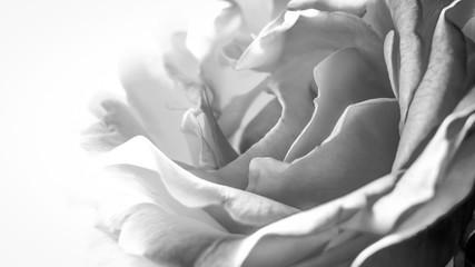 Gros plan en N&B sur rose blanche