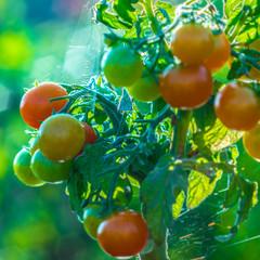 Jeune grappe de tomate au petit matin