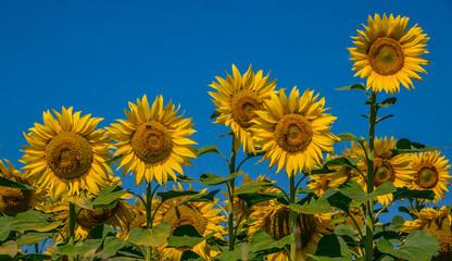 3 tournesols en plein soleil