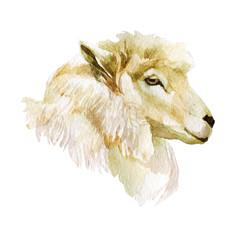Watercolor illustration, sheep. Head of a sheep