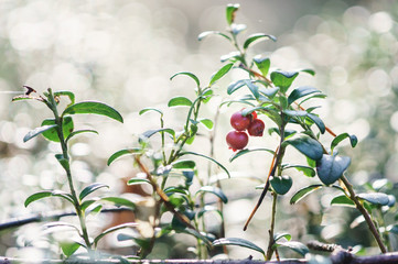Red berries of cranberries grow on bushes in the forest.