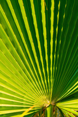 Palm tree leaf, tropical leaf texture, large palm foliage nature green background. Travel, Tourism, vacation concept. Closeup for the adorable pattern.