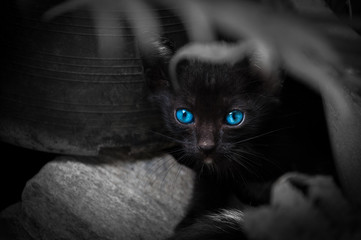 Black cat with beautiful blue eyes,Animal portrait Black kitten