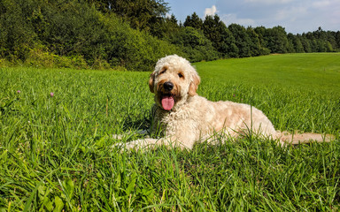 Goldendoodle - Medium Golden Doodle - Hund