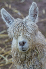 Face of a Shaggy Haired Alpaca in Peru