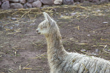 Small Alpaca in a Pen in Peru