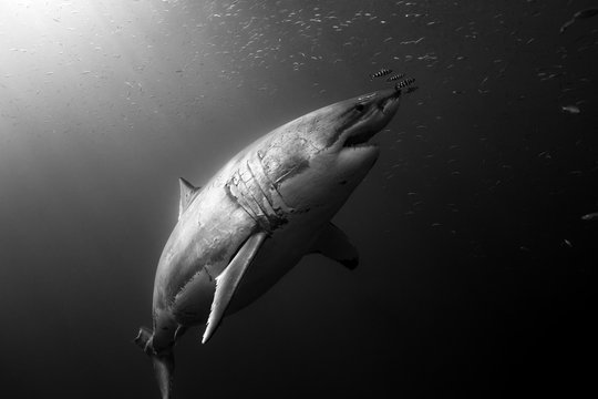 A great white shark rises from the depths towards the surface with  small fish and streaming sunlight through the water, glowing on her skin. Black and White
