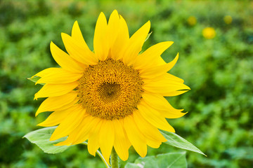 Beautiful Sunflower in the garden