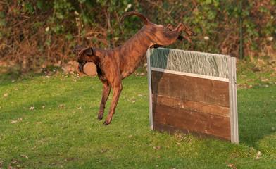 Boxer beim Apport über die Meiterhürde