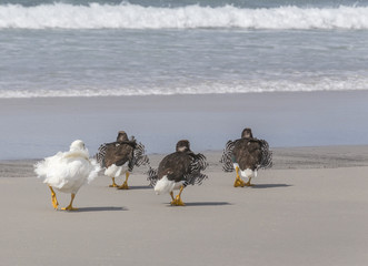 Kelp Geese with Ruffled Feathers