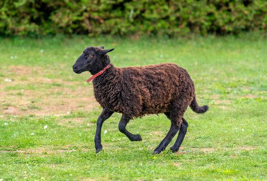 A black sheep running across green grass