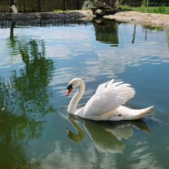 A beautiful white swan on the lake.