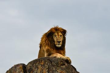 Männlicher Löwe auf Felsen mit direktem Blickkontakt in der Nahaufnahme; Kidepo Valley National Park, Uganda