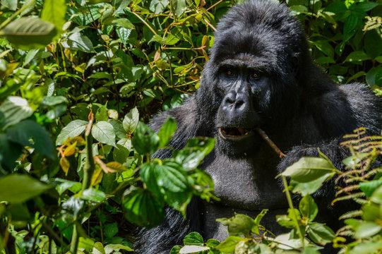 Silberrücken Berggorilla 1; Bwindi Forest Impenetrable Forest National Park, Uganda